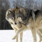 Positive running story – Two wolves